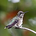 Hummingbird - Little Friend by Travis Truelove