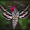 Hummingbird Moth - White-lined Sphinx Moth by Saija  Lehtonen