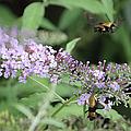 Hummingbird Moth by Ericamaxine Price