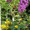 Hummingbird Moth In Flight  by Nancy Patterson