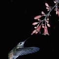 Hummingbird No 7 by Paul M Littman