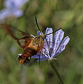 Hummingbird Or Clearwing Moth Din137 by Gerry Gantt