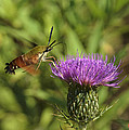 Hummingbird Or Clearwing Moth Din141 by Gerry Gantt