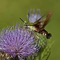 Hummingbird Or Clearwing Moth Din178 by Gerry Gantt