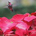 Hummingbird Over Poinsettias by Ruby Hummersmith