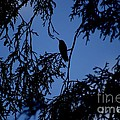 Hummingbird Silhouette by Living Color Photography Lorraine Lynch