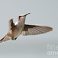 Hummingbird With Tongue Out by Lori Tordsen
