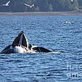 Hump Back Whale In Alaska by Pamela Walrath