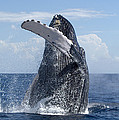 Humpback Whale Breaching Maui Hawaii by Flip Nicklin