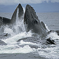 Humpback Whale Cooperative Gulp Feeding by Flip Nicklin