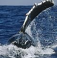 Humpback Whale Flipper Slap Hawaii by Flip Nicklin