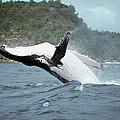 Humpback Whale Megaptera Novaeangliae by Mike Parry