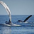 Humpback Whale Pectoral Slap Maui by Flip Nicklin
