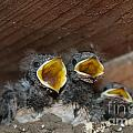 Hungry Cute Little Baby Birds  Www.pictat.ro by Preda Bianca Angelica