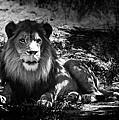 Hungry Lion by Hakon Soreide