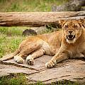 Hungry Lion by Joye Ardyn Durham