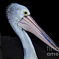 Hungry Pelican by Kaye Menner