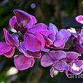 Hyacinth Bean by Susan Herber