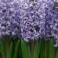 Hyacinth Hyacinthus Sp Skyline Variety by VisionsPictures