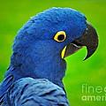 Hyacinth Macaw by Gwyn Newcombe
