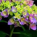 Hydrangea Beauty by Valia Bradshaw