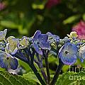 Hydrangea Blossoms by Byron Varvarigos