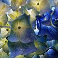 Hydrangea Close-up by Alex Schindel