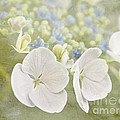 Hydrangea Dreams by Cindy Garber Iverson