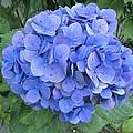 Hydrangea Flowerhead by Tony Craddock
