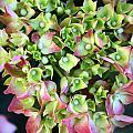 Hydrangea by LC  Linda Scott