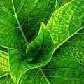 Hydrangea Leaves by Carlos Caetano