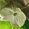 Hydrangea Macro by Debbie Portwood