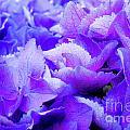 Hydrangea Petals by Susan Cole Kelly