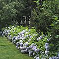 Hydrangeas In Bloom Along A Landscaped by Darlyne A. Murawski