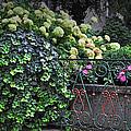 Hydrangeas Salzburg by Mary Machare