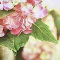 Hydrangeas by Stephanie Frey