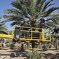 Hydraulic Platform For Picking Dates by Photostock-israel