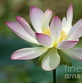 I Love Lotus by Sabrina L Ryan