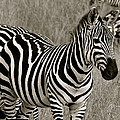 I See Stripes by Robert Joseph