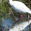 Ibis At Local Pond 2 by Lynda Dawson-Youngclaus