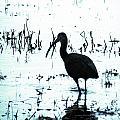 Ibis By Pintail Nature Drive Cameron Prairie Nwr La by Lizi Beard-Ward