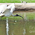 Ibis In Flight by Kaye Menner