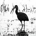 Ibis Pintail Drive Cameron Prairie Nwr by Lizi Beard-Ward