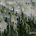 Ice-coated Arborvitae by Ted Kinsman