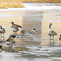 Ice Skating Geese by Phyllis Britton