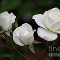 Iceberg Roses by Living Color Photography Lorraine Lynch