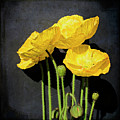 Iceland Yellow Poppies by Paul Grand Image
