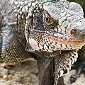 Iguana At Magens Bay by Salvadore Delvisco