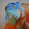 Iguana Close-up by Randy Harris