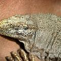 Iguana by Henrik Lehnerer